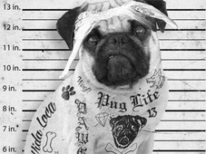 Pug Life T-Shirt Design by