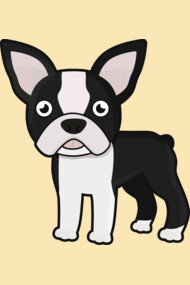 Cute Boston Terrier